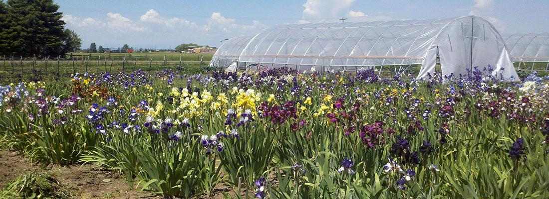 Field of multicolored iris flowers in a field with a plastic covered structure in background