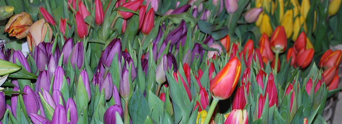 Field of purple, red, yellow and pink tulip flowers
